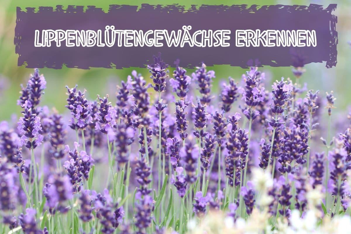 Lippenblütler - Lavendel