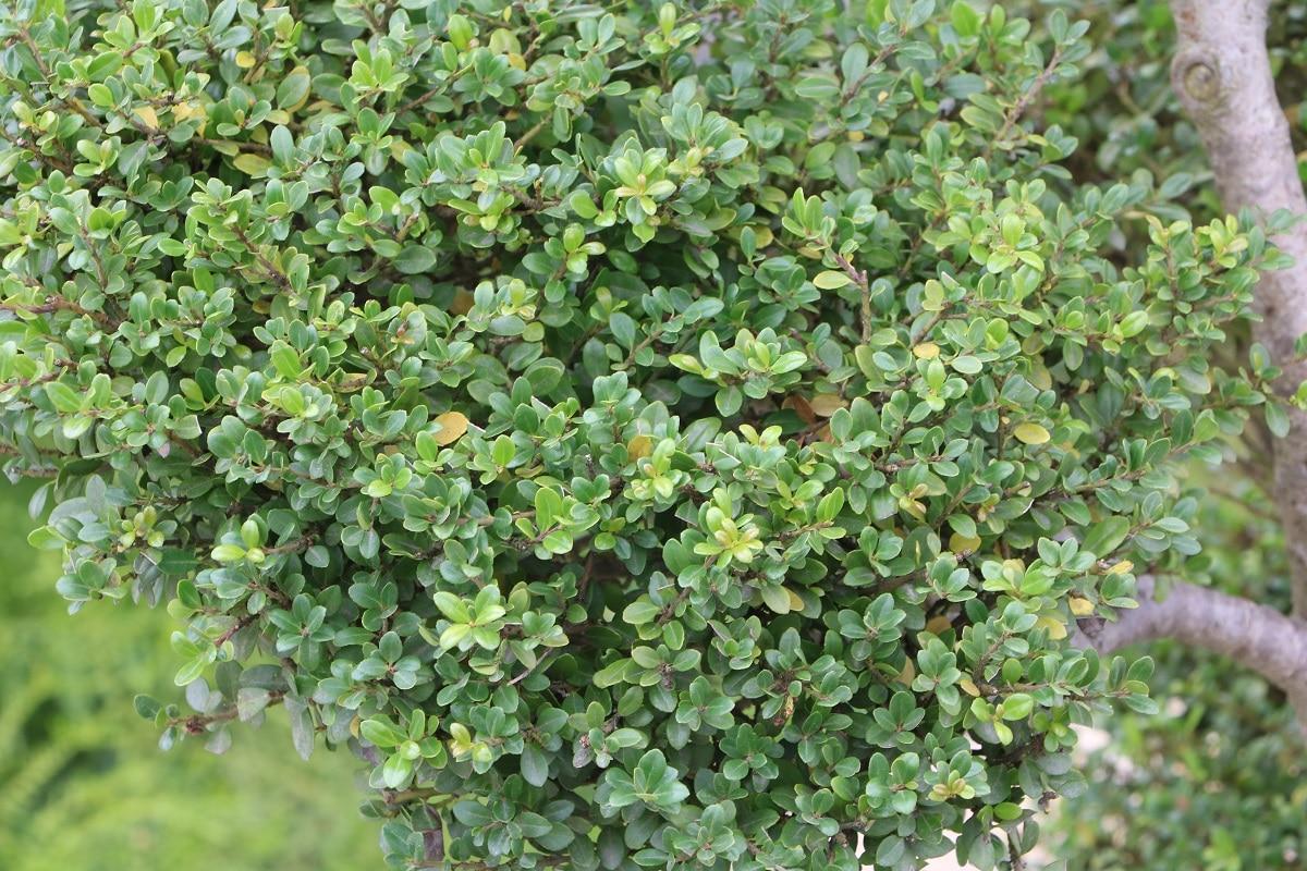 Immergrüne winterharte Bäume - Löffel-Ilex
