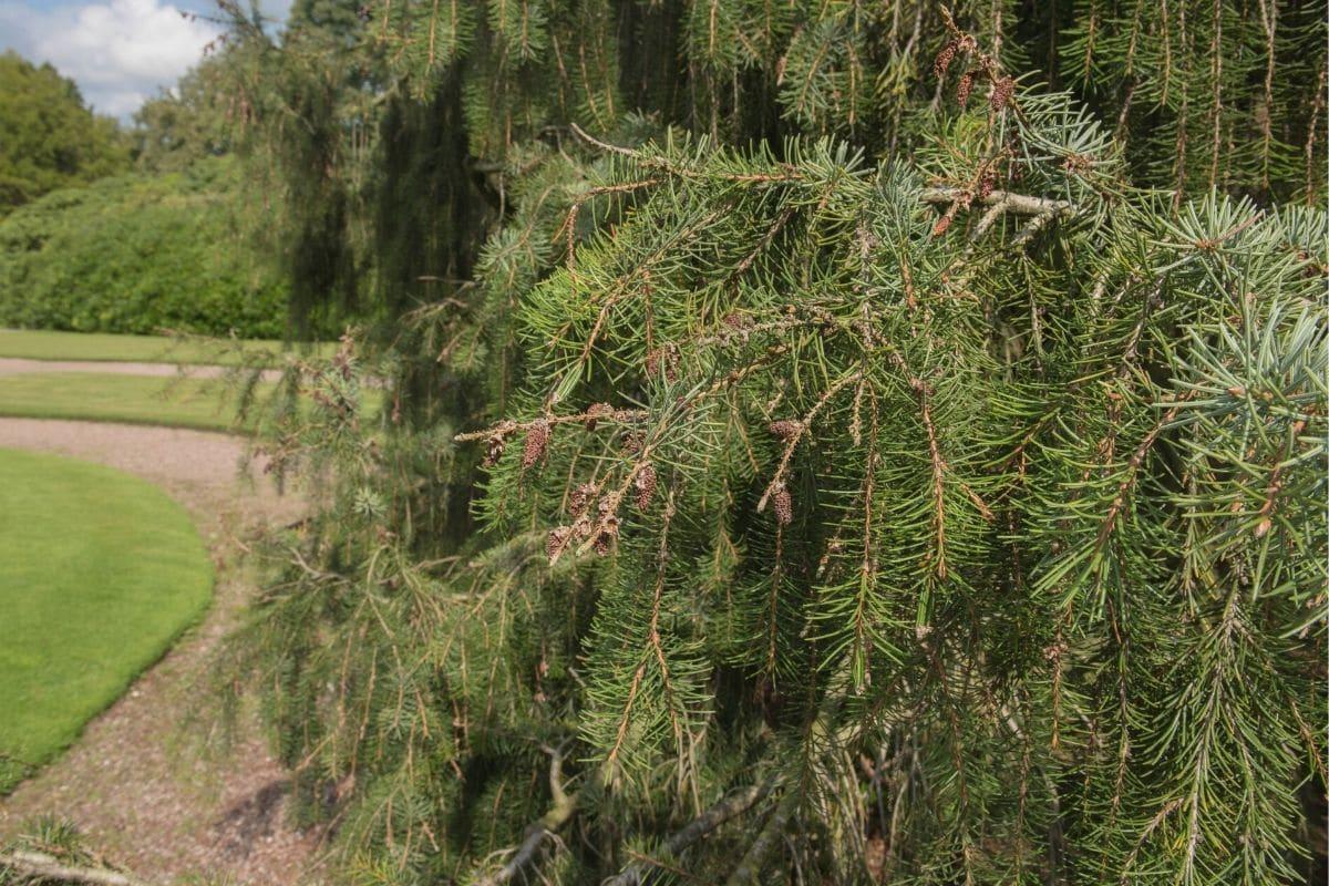 Immergrüne winterharte Bäume - Mähnenfichte