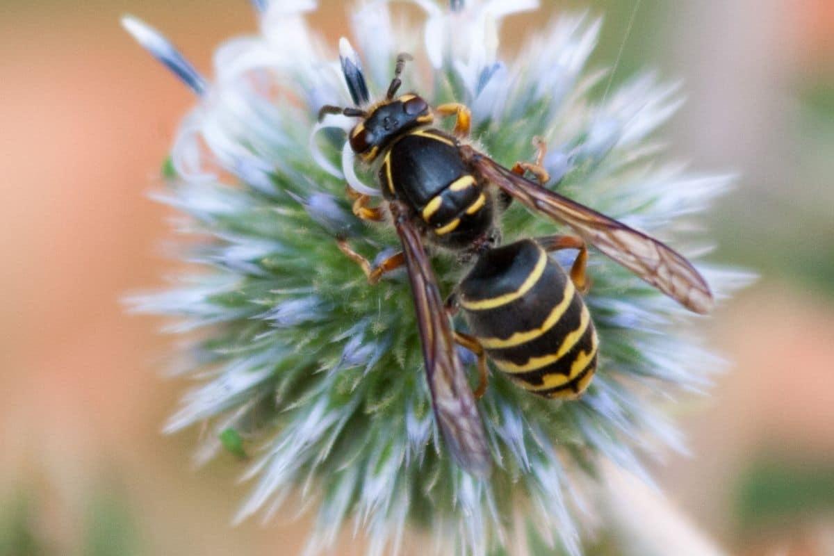 Wespenarten - Mittlere Wespe