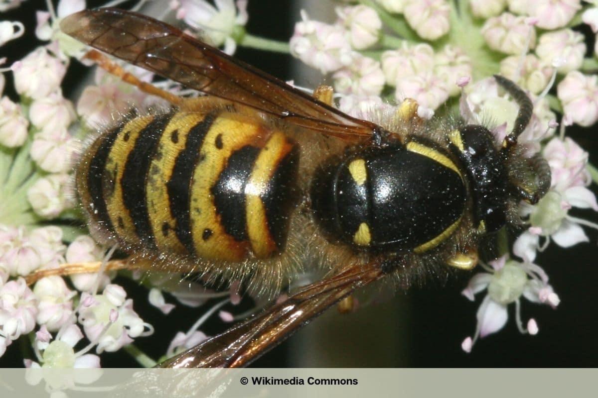 Wespenarten in Deutschland - Norwegische Wespe