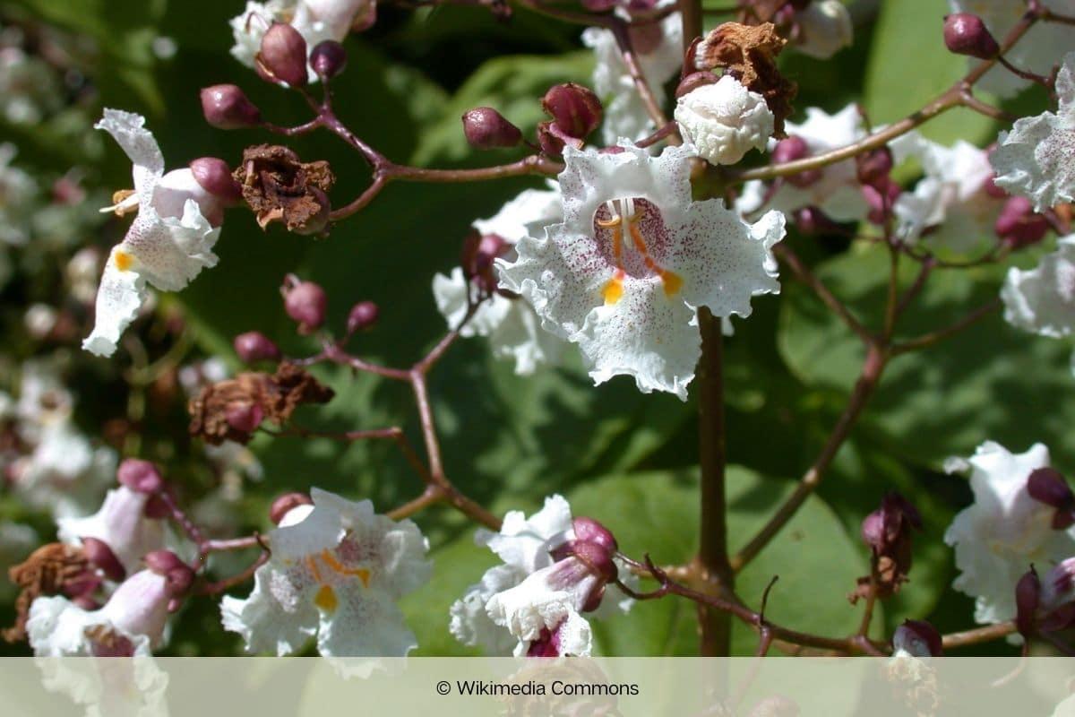 Baum mit weißen Blüten - Purpurblättriger Trompetenbaum