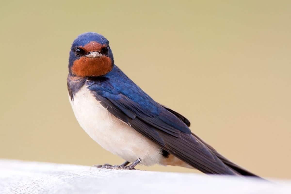 Vögel, die nachts singen - Rauchschwalbe (Hirundo rustica)
