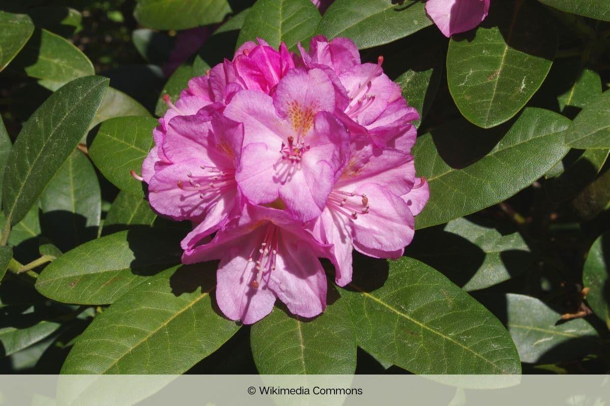 Immergrüne winterharte Bäume - Rhododendron insigne