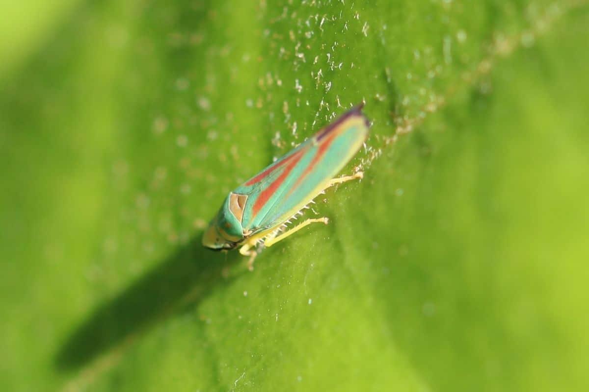 Insekten mit Rüssel - Zikaden