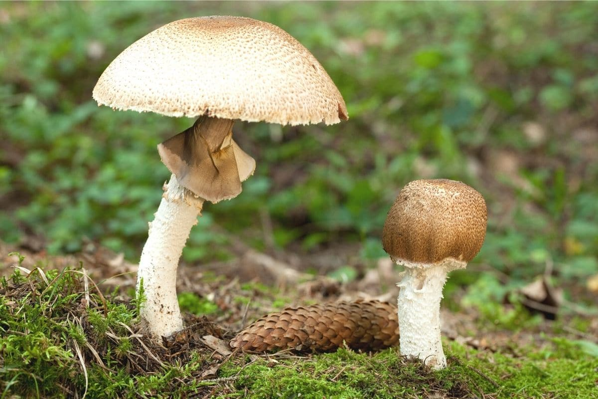 Riesen-Champignon - Agaricus augustus