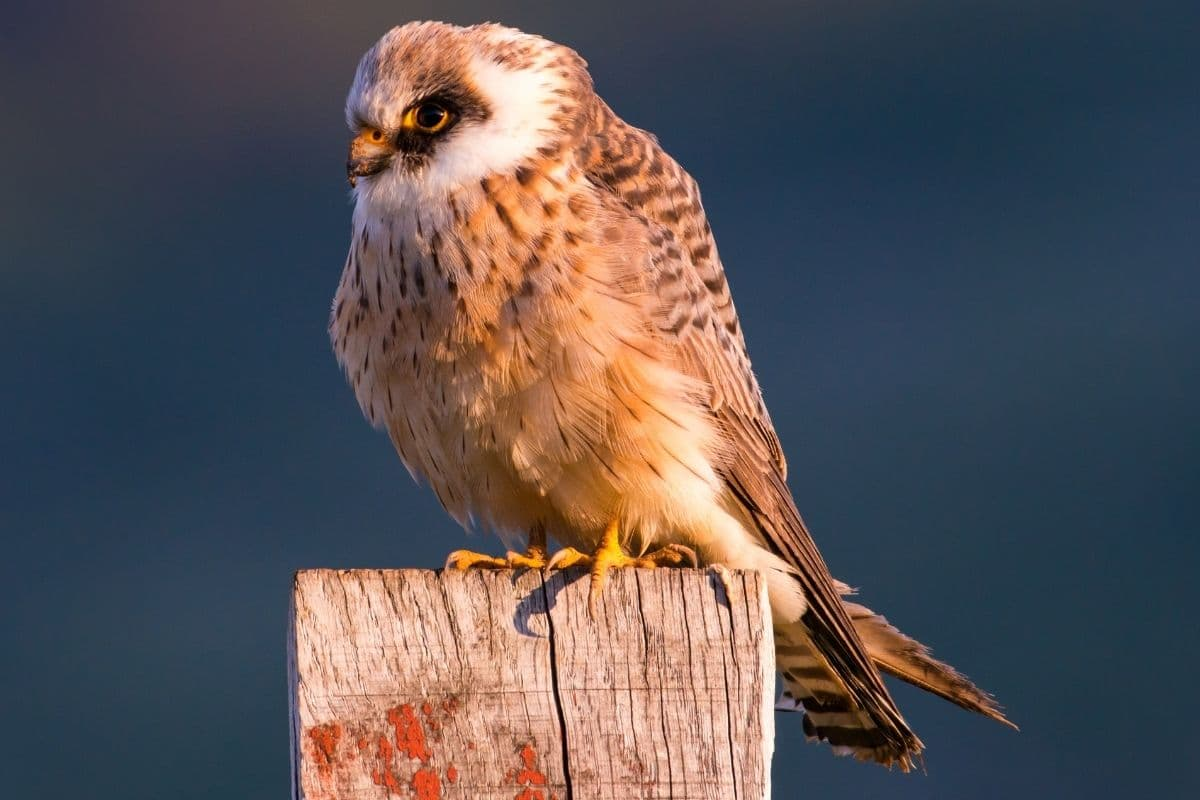 Rotfußfalke - Falco vespertinus