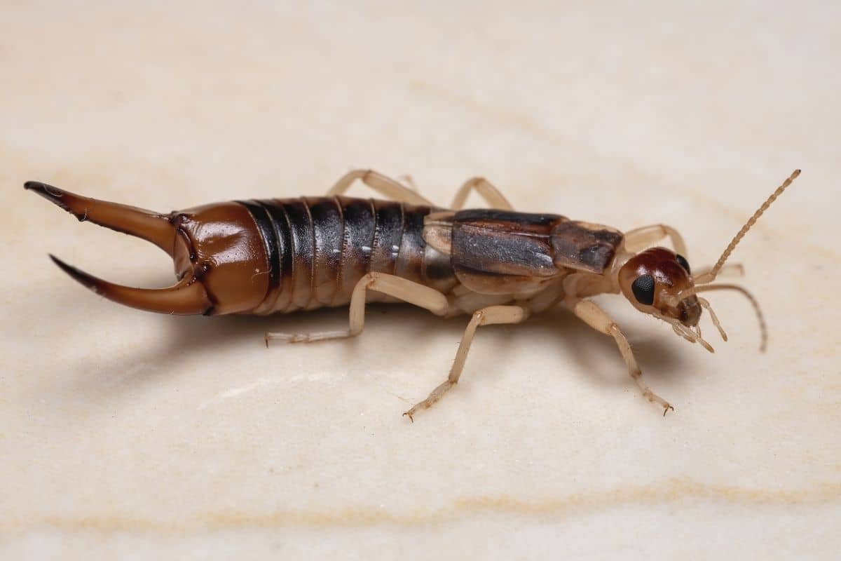 Käfer mit Zangen - Ohrenkneifer