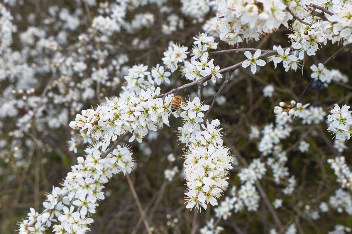 Schlehdorn - Prunus spinosa