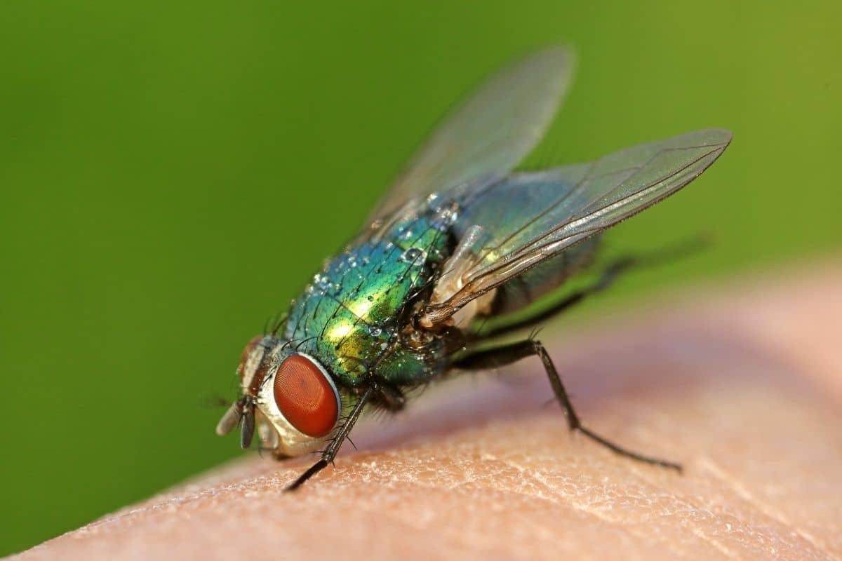 Insekten mit Rüssel - Schmeißfliege