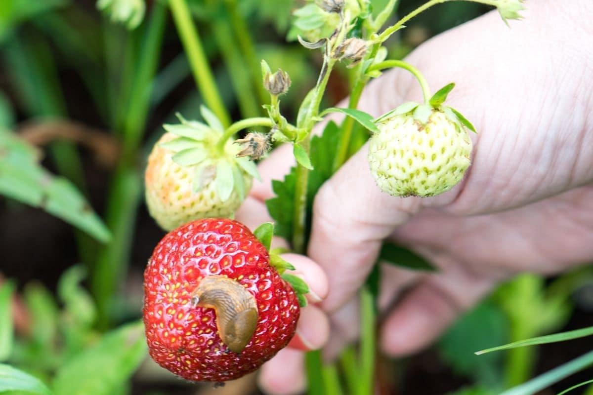Was fressen Schnecken - Schnecke frisst Erdbeere