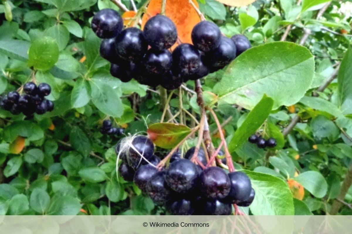 Schwarze Apfelbeere - Aronia melanocarpa 'Rubina'