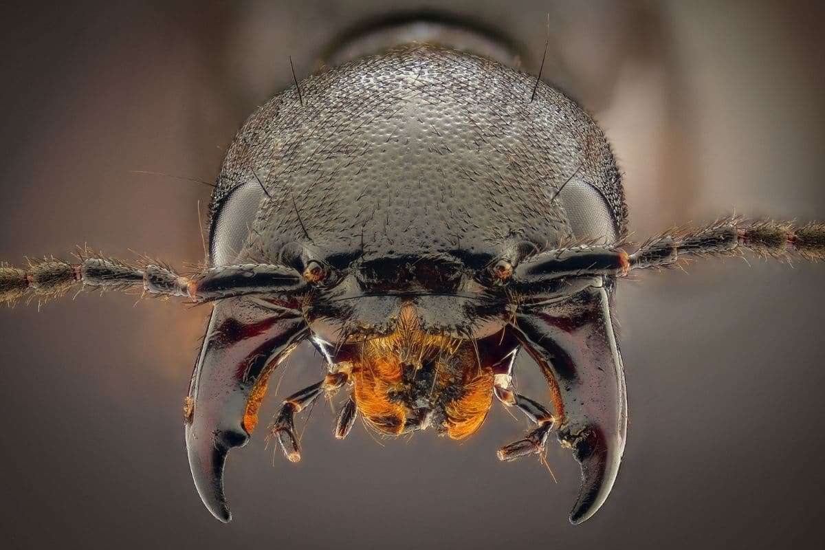 Schwarzer Moderkäfer - Ocypus olens