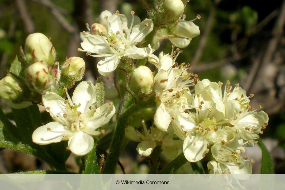 Baum mit weißen Blüten - Speierling