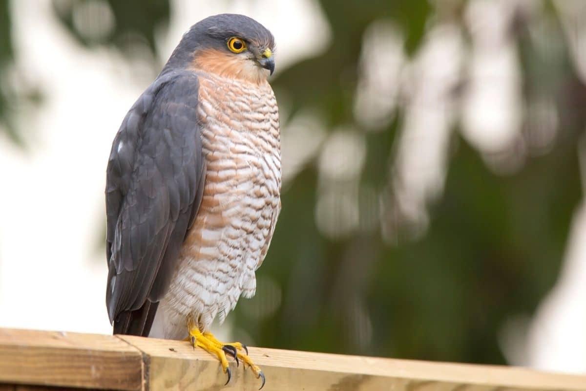 Heimische Greifvögel - Sperber