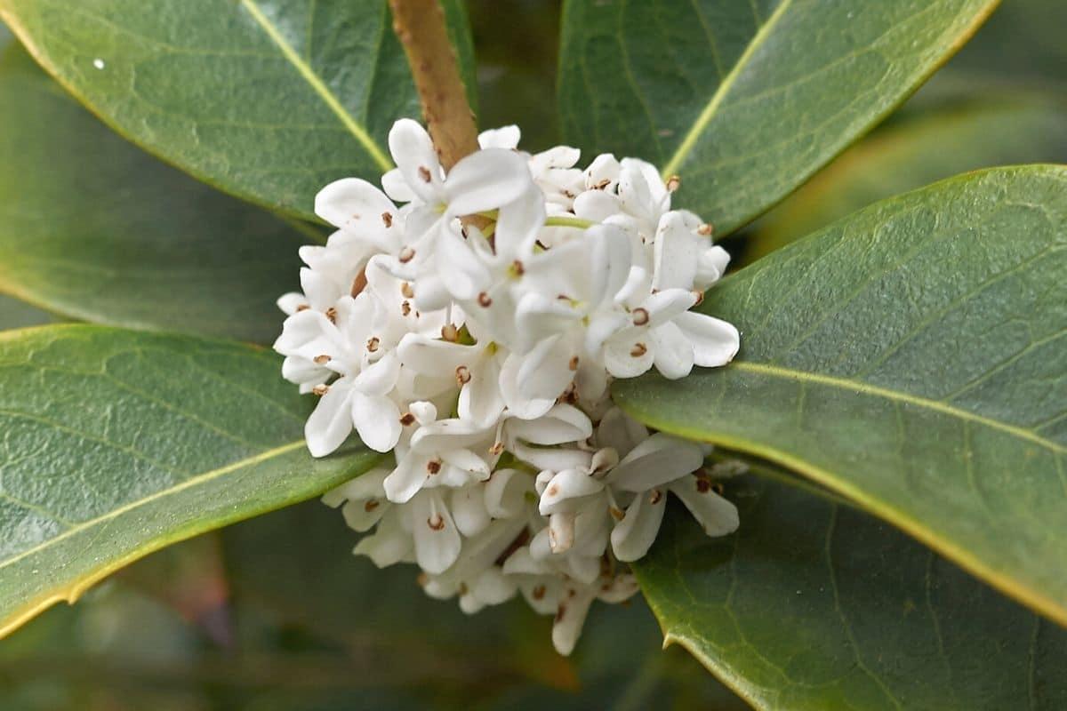 Baum mit weißen Blüten - Stechpalme