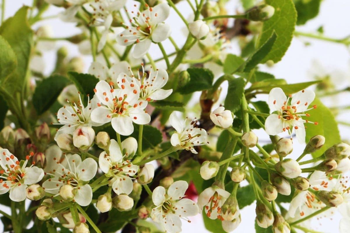 Baum mit weißen Blüten - Steinweichsel