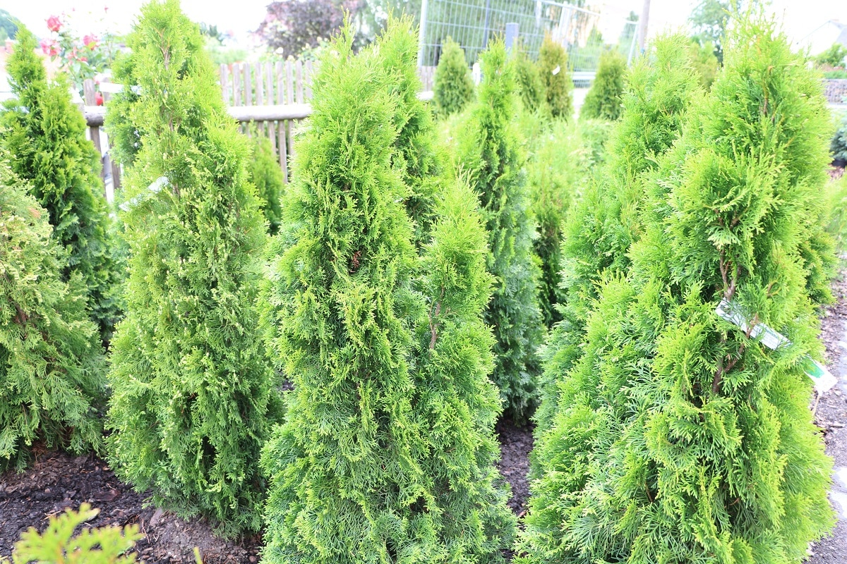 Abendländischer Lebensbaum - Thuja occidentalis