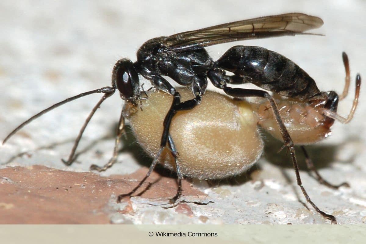 Wespen mit langen Beinen - Tönnchen-Wegwespe