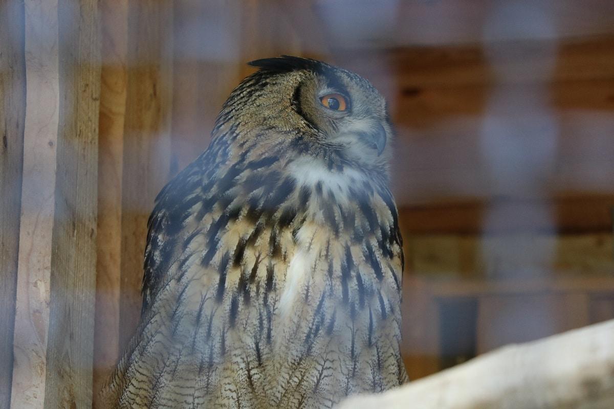 Heimische Standvögel - Uhu