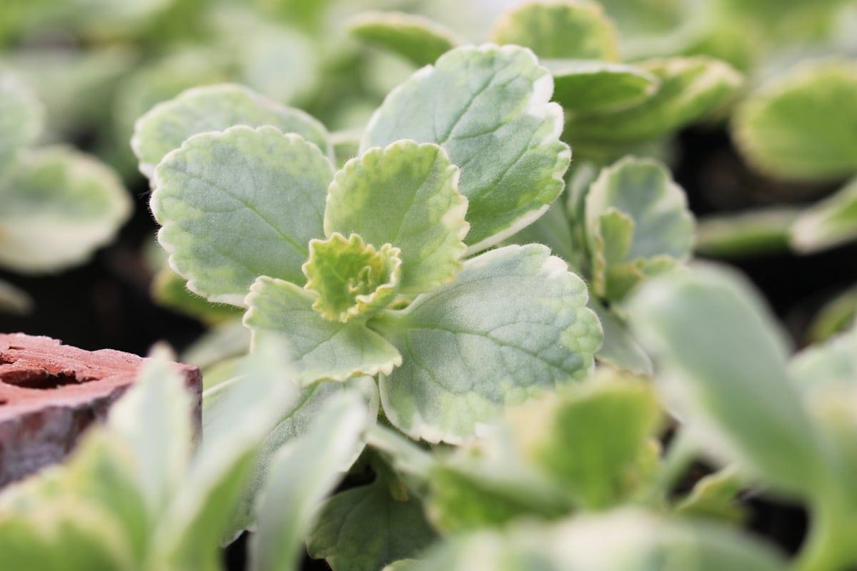 Katzenabwehr - Verpiss-Dich-Pflanze