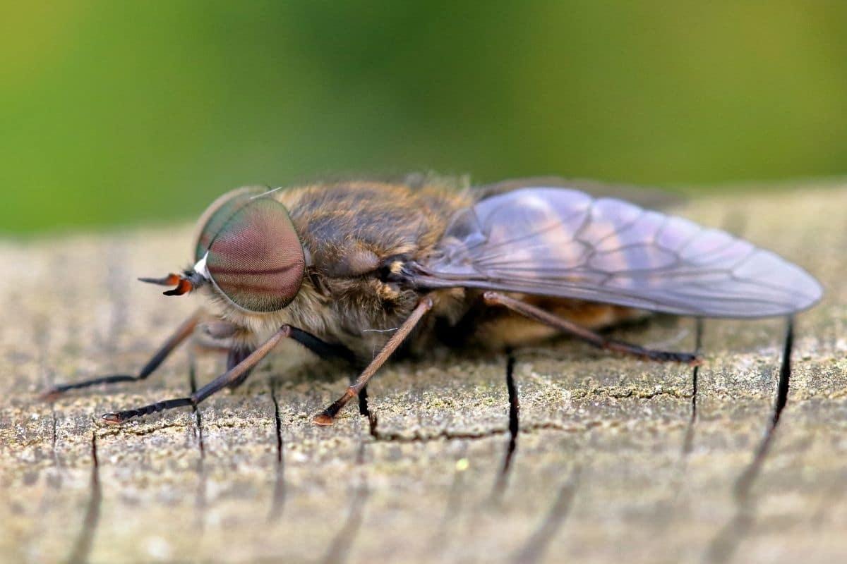Insekten mit Rüssel - Viehbremse