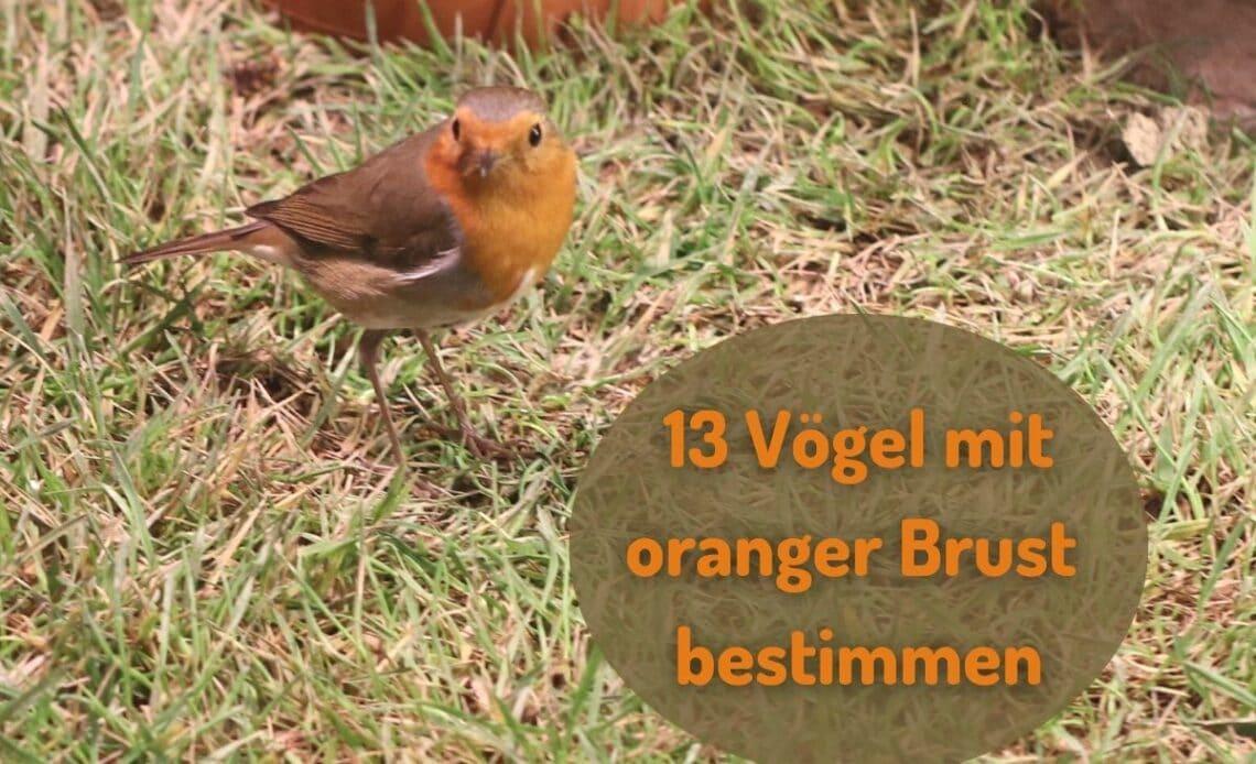 Vögel mit oranger Brust - Rotkehlchen