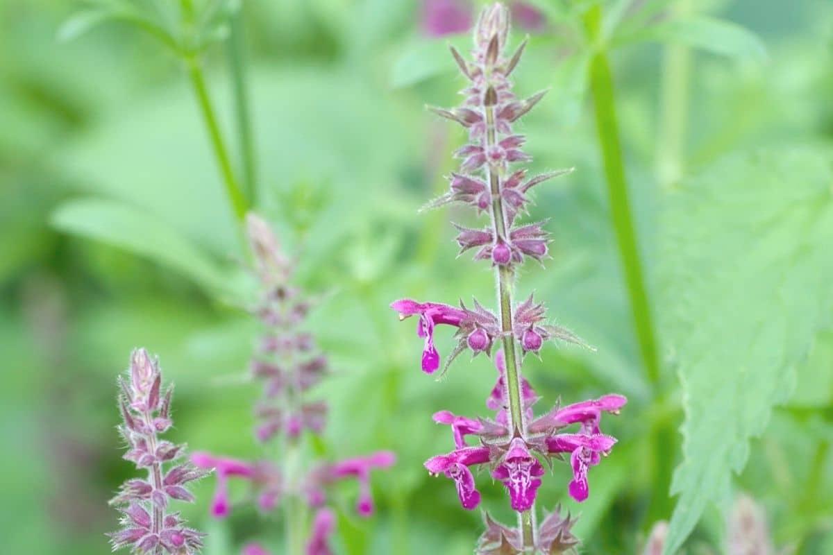 Lippenblütengewächse - Wald-Ziest