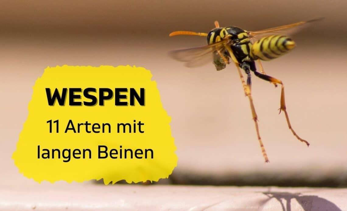 Wespen mit langen Beinen - Haus-Feldwespe