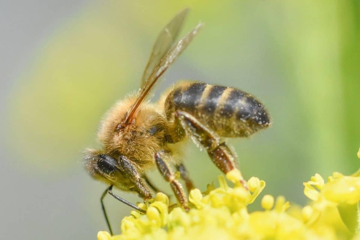 Bienen mit Rüssel - Westliche Honigbiene