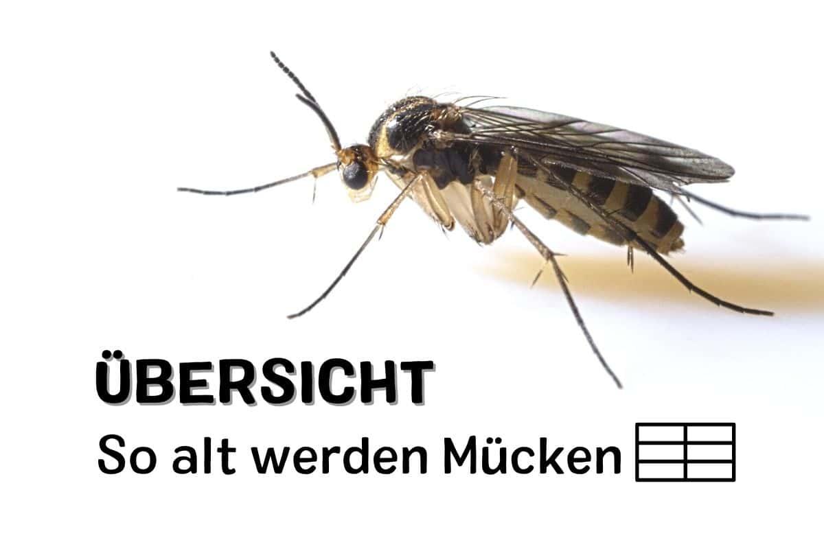Wie lange leben Mücken - Pilzmücke
