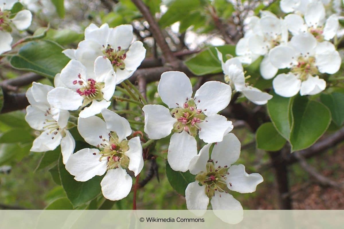 Baum mit weißen Blüten - Wildbirne