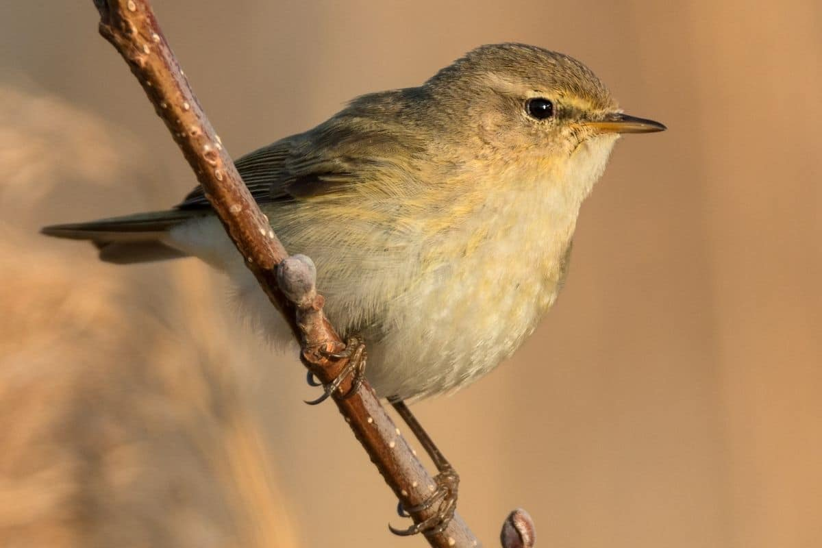 Heimische Gartenvögel - Zilpzalp
