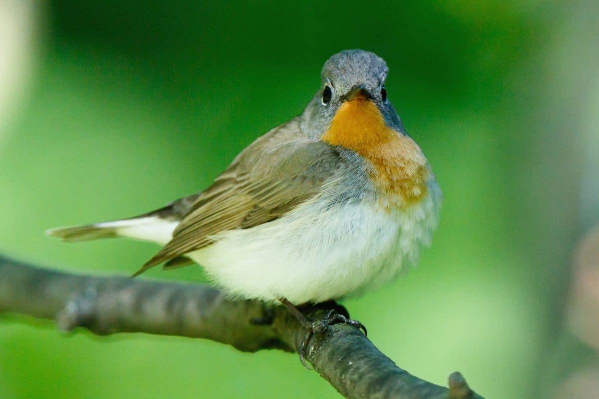 Vogel mit oranger Brust - Zwergschnäpper