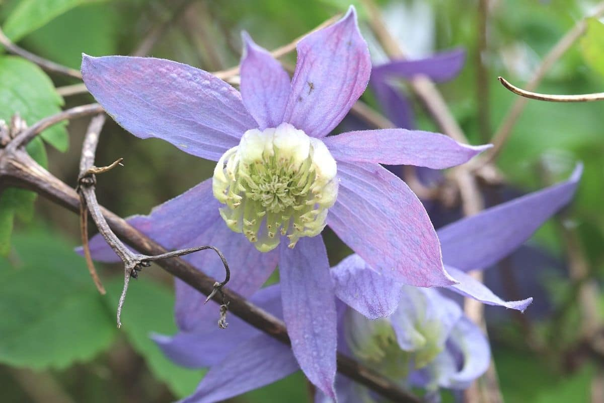Alpen-Waldrebe - Clematis alpina 'Blue Princess'