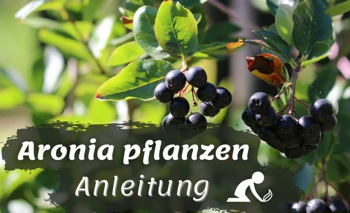Aronia pflanzen