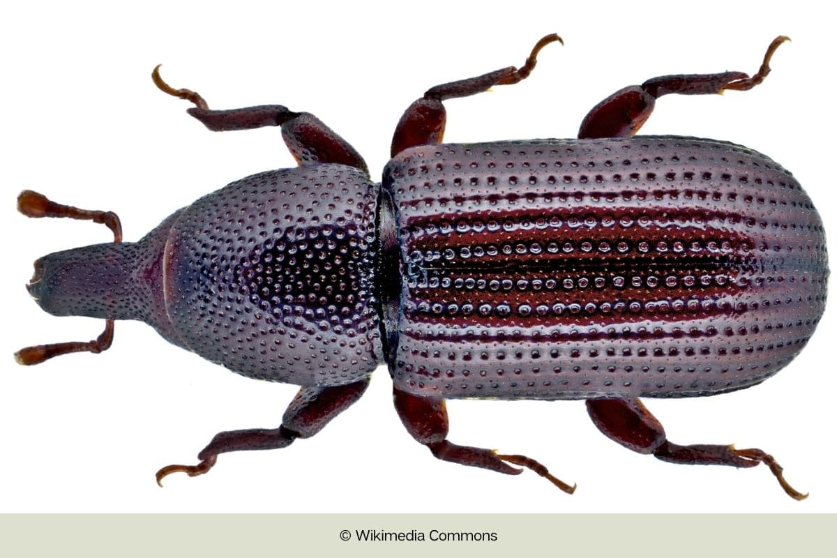 Käfer mit hartem Panzer - Balkenrüssler