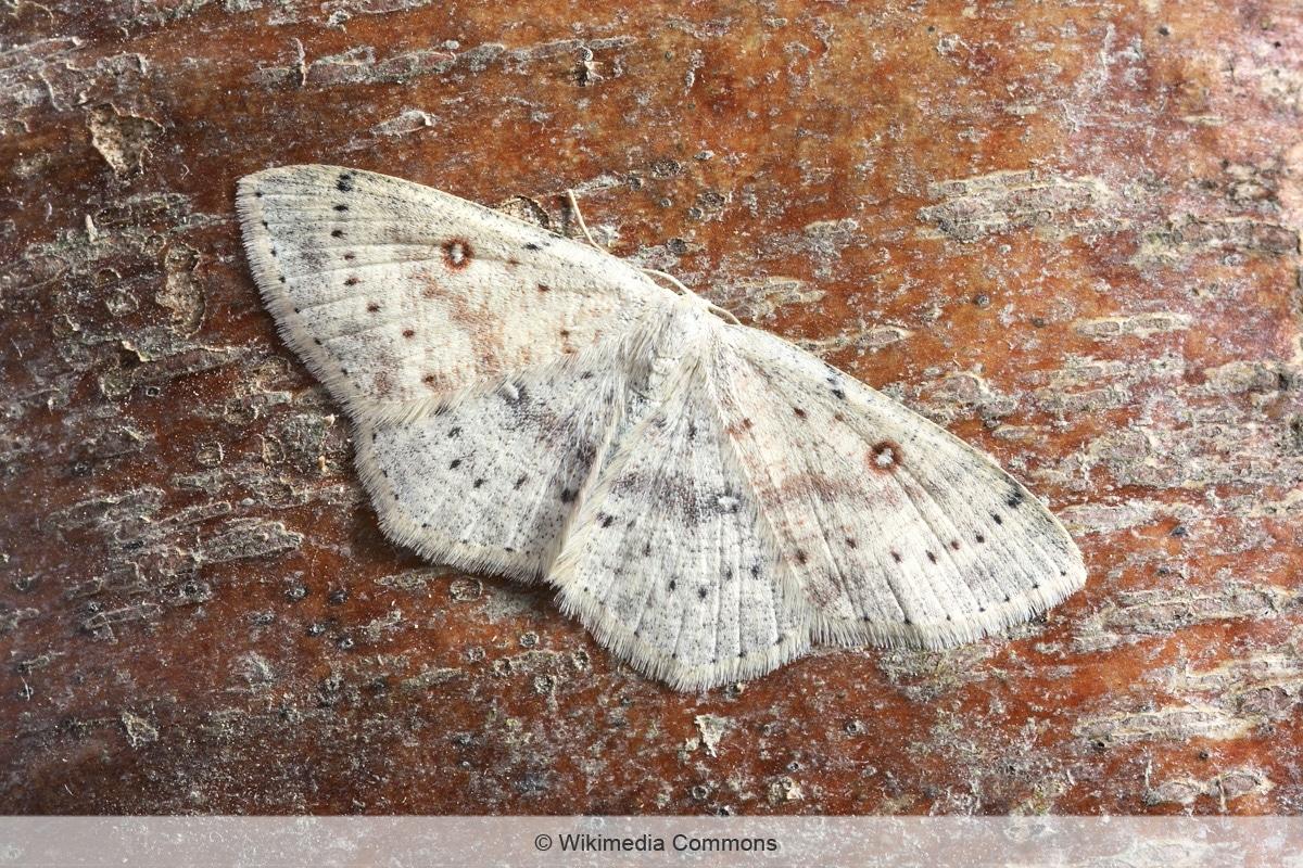 Birken-Gürtelpuppenspanner - Cyclophora albipunctata