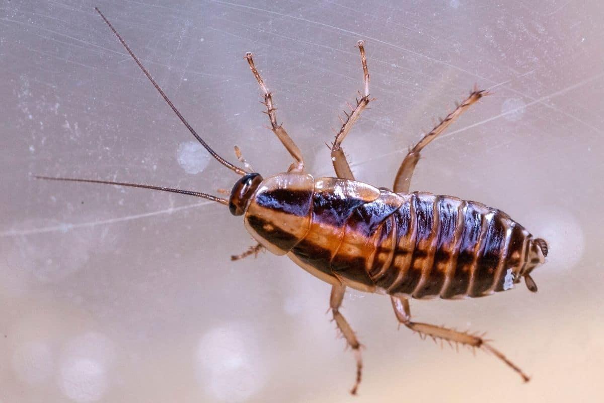 Kleiner Käfer mit hartem Panzer - Kakerlake