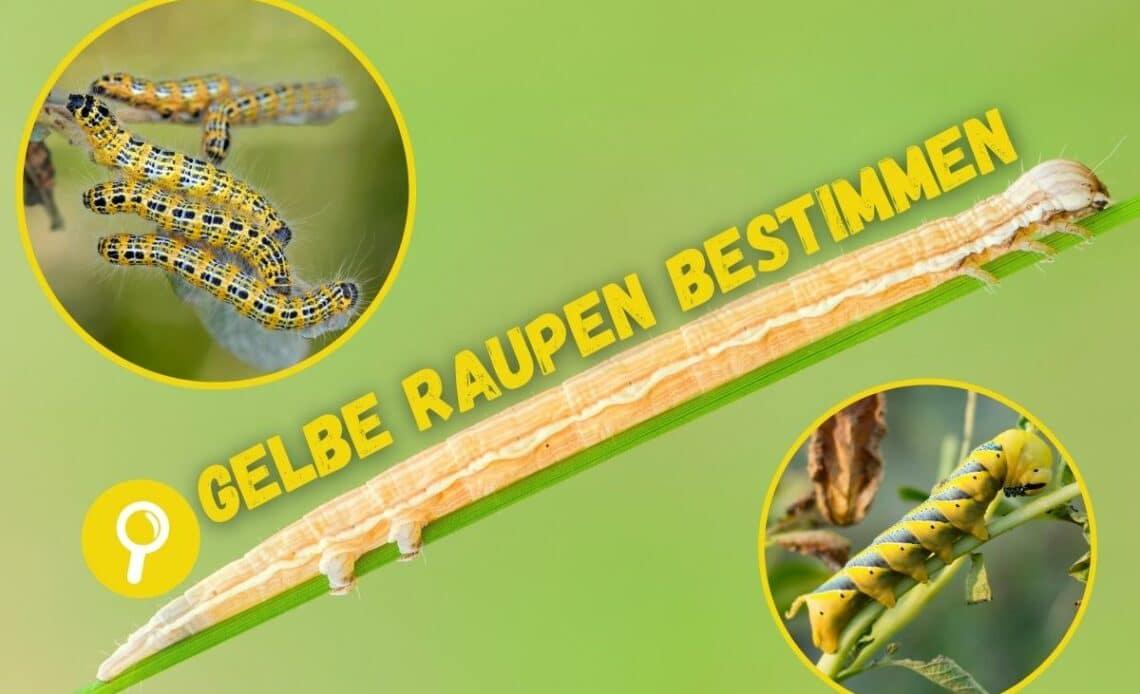 Gelbe Raupen bestimmen