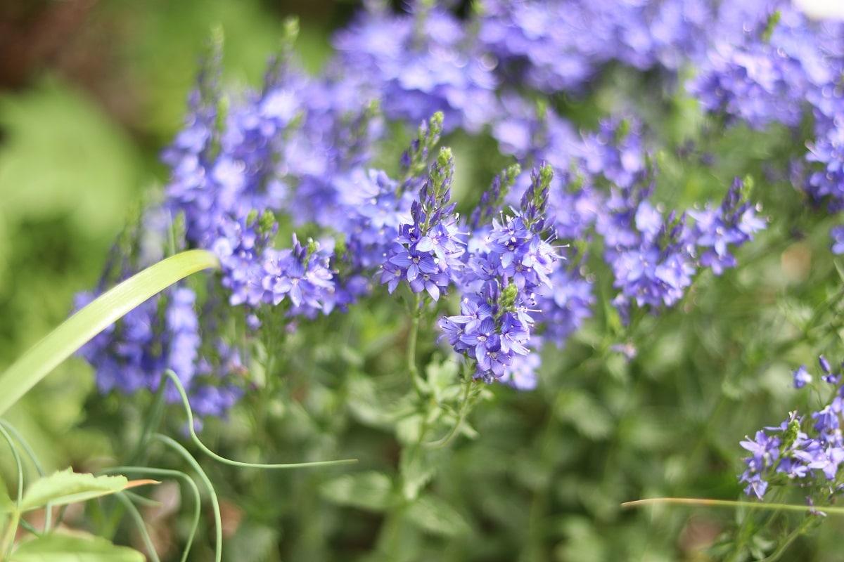 Blaue Frühlingsblumen - Großer Ehrenpreis 'Knallblau'
