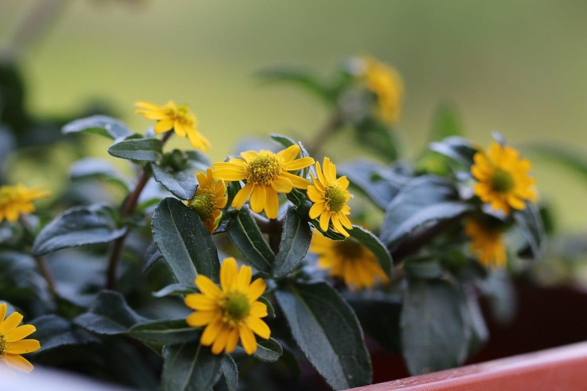 Pflanzen für den Südbalkon - Husarenknopf