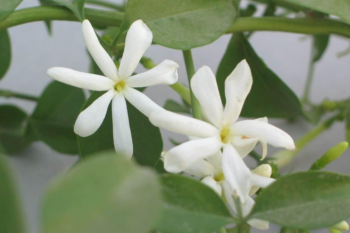Jasmin mit weißen Blüten - Jasminum officinale