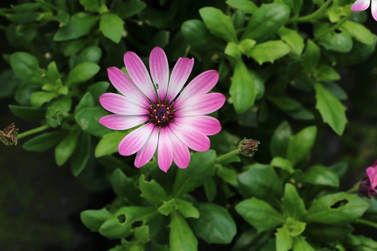 Kapkörbchen - Osteospermum