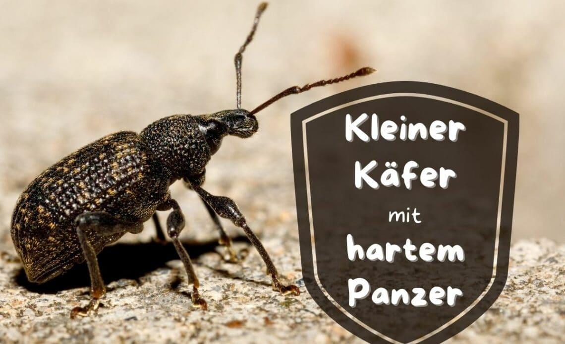 Kleiner Käfer mit hartem Panzer - Dickmaulrüssler