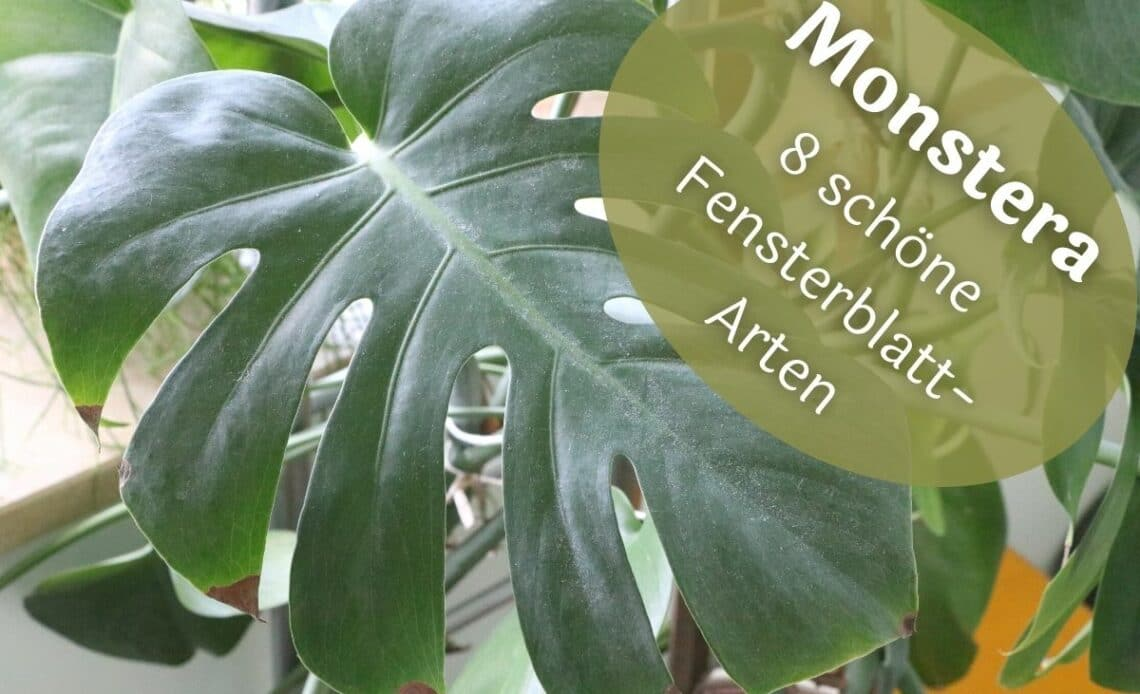 Monstera-Arten - Köstliches Fensterblatt