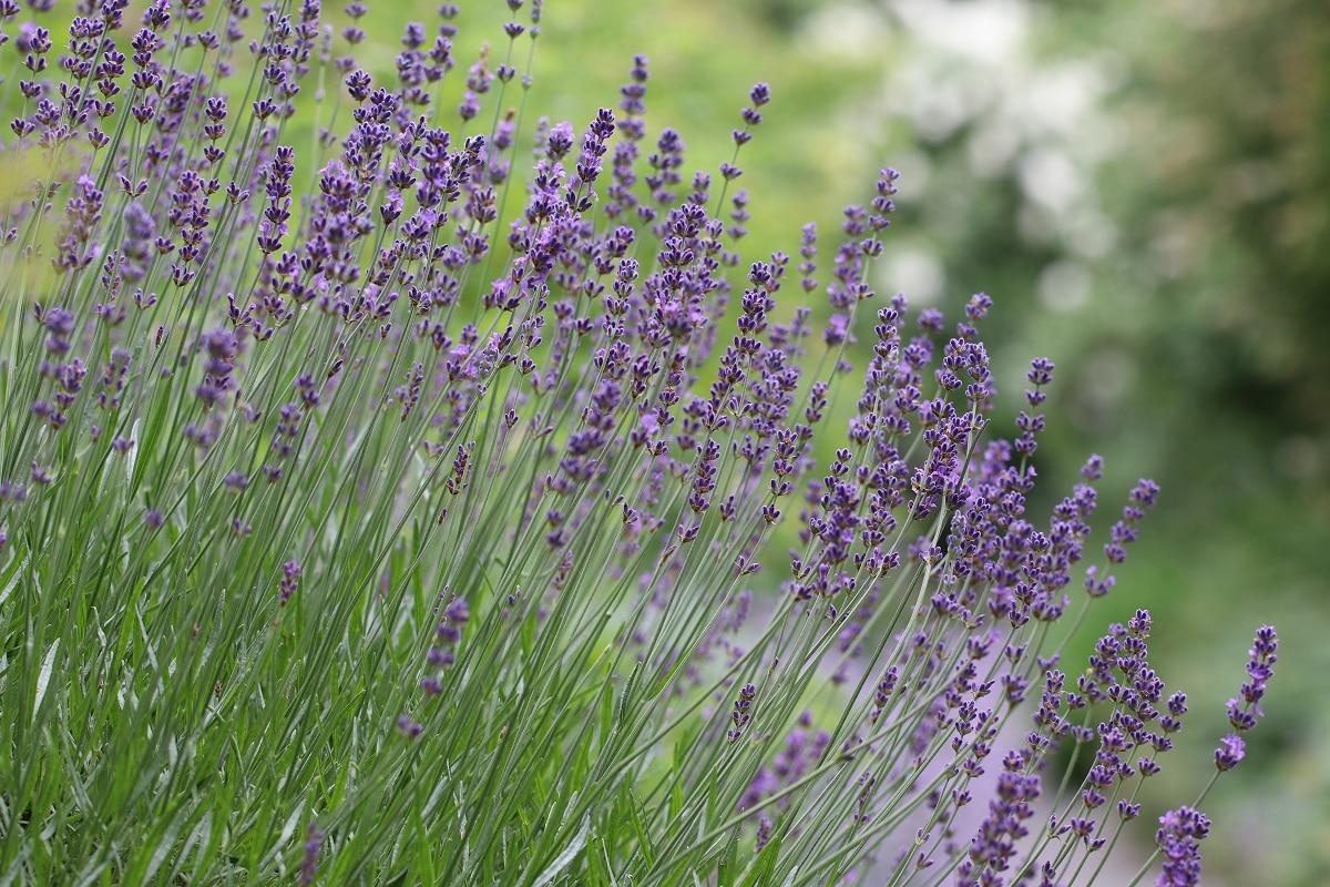 Pflanzen für den Südbalkon - Lavendel