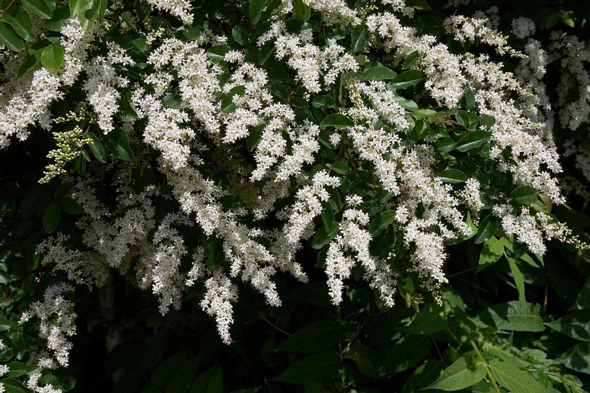 Liguster mit weißen Blüten