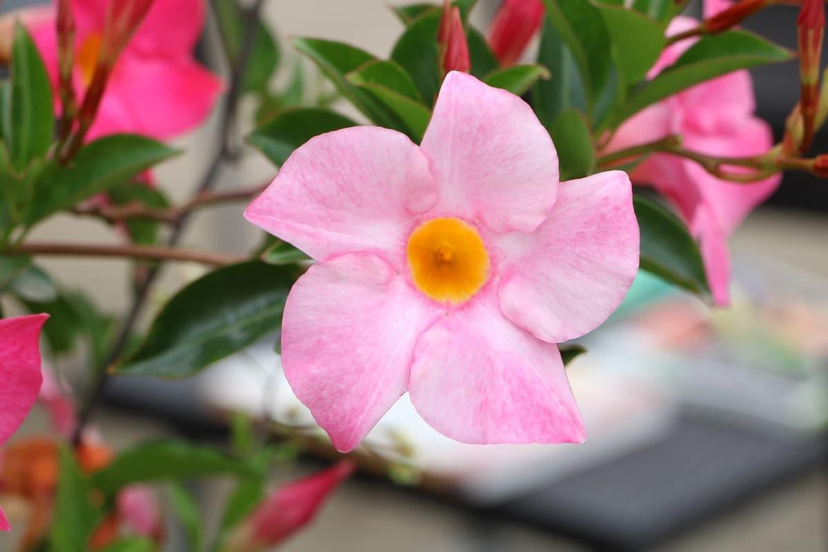 Pflanzen für den Südbalkon - Dipladenia