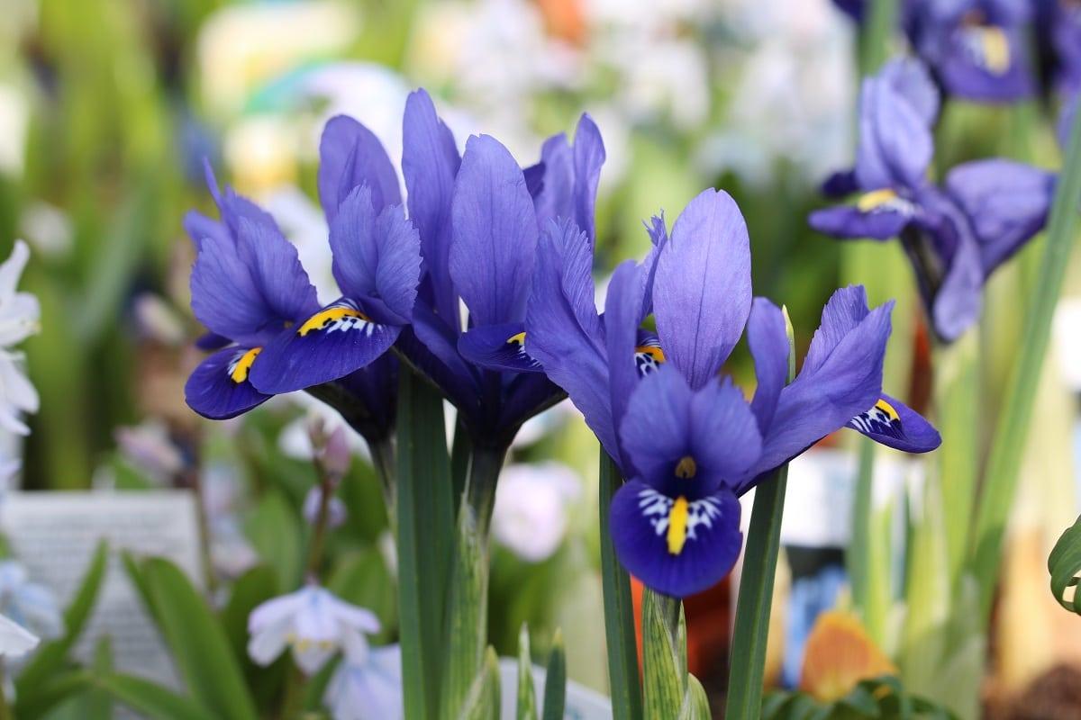 Blaue Frühlingsblumen - Netzblatt-Schwertlilie